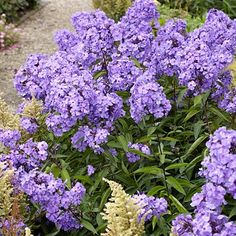 Phlox Blue Paradise, Phlox paniculata - Fall Perennials from American Meadows