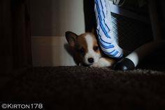 Corgi pup hiding