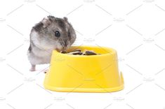 hamster eating by Photonature. on @creativemarket