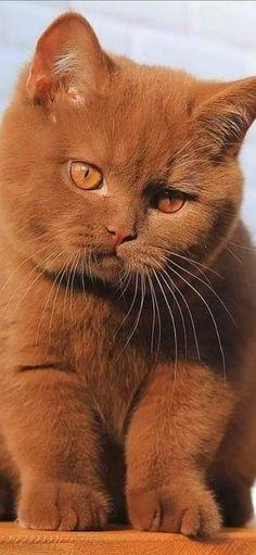 Pretty Cats, Beautiful Cats, Animals Beautiful, Beautiful Creatures, Animals And Pets, Baby Animals, Cute Animals, Cute Cats And Kittens, Kittens Cutest