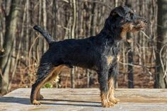 Jagdterrier Dog Breed Information - American Kennel Club Patterdale Terrier, Akc Breeds, Jack Russell Terrier, Terriers, Best Dogs, Animal Pictures, Fun Stuff, Pup, Blood