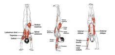 Adho Mukha Vrksasana - Leslie Kaminoff Yoga Anatomy Illustrated by Sharon Ellis