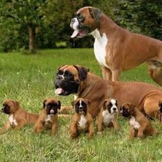Boxer puppies!!