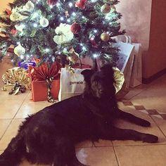 Bianc ehm nero nataaal   Foto di: @peppebr1  #BauSocial  All I want for Christmas is you!  #Dog #MyDog #BlackDog #Beast #BlackBeast #Nika #Cane #IlMioCane #CaneNero #Bestia #BestiaNera #Christmas #ChristmasTree #Natale #AlberoDiNatale #InRealtàStaTramandoQualcosa #SgranocchiareIRegali