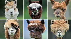 Shear delight: Alpacas left with mullets after annual cut. More here: http://www.news.com.au/travel/news/shear-delight-alpacas-left-with-mullets-after-annual-cut/story-e6frfq80-1226343261509