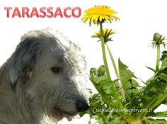 TARASSACO