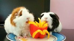 """Guinea pigs eating bell pepper """"fries"""". * * GUINEA PIG ON LEFT: """" Oh noes. Dis feelz like me mouth on fire ! """""""