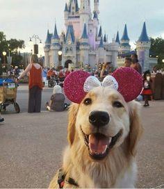 Golden retriever at Disneyland #goldenretriever