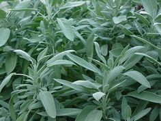 As sage darkens hair color, it can be used to darken grey hair