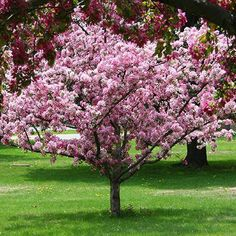 $ 70 - Robinson Crabapple on Fast Growing Trees Nursery.  http://www.fast-growing-trees.com/CrabappleRobinson.htm