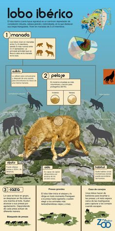 Extinct Animals, Prehistoric Animals, Wolf Spirit, Spirit Animal, Zoo Signage, Cute Animal Photos, Mundo Animal, Animals Of The World, Endangered Species