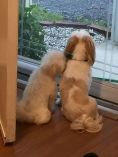 Cookie and Joy watching Julie leave for school . and cambodge water, pets and domestic chart hdl. Cute Puppies, Cute Dogs, Dogs And Puppies, Doggies, Boxer Puppies, Boxer Mix, Shih Tzu Puppy, Shih Tzus, Animals And Pets