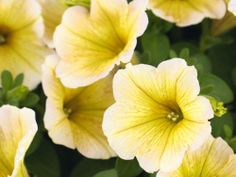 Petunia, yellow, spring annual, summer annual, fall annual, sun