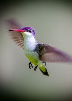 Violet Hummingbird.