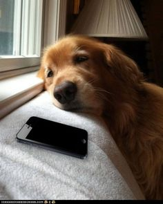 sad retriever waiting by the phone.