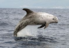 Risso's dolphin (Grampus griseus) the only representative of the genus Grampus. It  can reach a length from 2.5 to 4 m, and a weight of 600-700 kg.