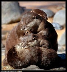 pile of otters. The otter obsession continues. Otters Cute, Baby Otters, Baby Sloth, Cute Baby Animals, Animals And Pets, Funny Animals, Beautiful Creatures, Animals Beautiful, Otter Love