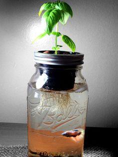 Mason Jar Aquaponics Organic Kit Start your new by GreenPLUR