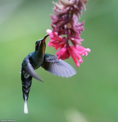 antpitta.com : A photo gallery of Neotropical birds