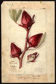 Passmore, Deborah Griscom (1840-1911), Hibiscus sabdariffa: Victor; 1906 | USDA Pomological Watercolor Collection