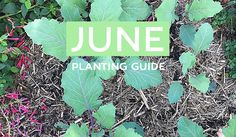 Your June Edible Planting Guide - Australia Wide! Winter is officially here - & contrary to what many people think - there's a whole heap of edible goodness that you can plant out right now!