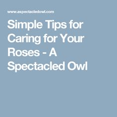 Simple Tips for Caring for Your Roses - A Spectacled Owl