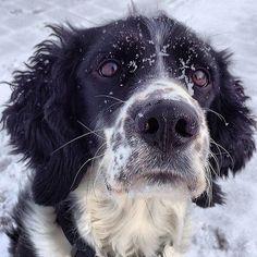Morning snow face. #dog #dogs #katanddog #englishspringer #englishspringerspaniel #springer #spaniel #springerspaniel