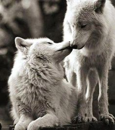 Woww!! #Wolves #Love <3 #provestra