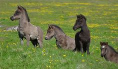 For the horse lovers:) Icelandic Horse Foals (by tanjadavis) Baby Horses, Cute Horses, Horse Love, Wild Horses, All The Pretty Horses, Beautiful Horses, Animals Beautiful, Baby Animals, Cute Animals
