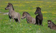 Icelandic Horse Foals by tanjadavis, via Flickr