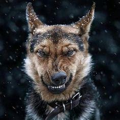 Hund+-+Sauer