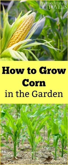 Want to learn how to Grow Corn in your vegetable garden? Use these gardening tips for Growing Corn, including how to plant corn seeds, how to care for corn seedlings, and how to harvest corn.