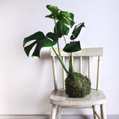 Magical monstera kokedama.