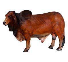 Fibreglass Brahman Bull Sculpture Dimensions : Length : 246.3cm, Width : 76.2cm, Height : 168cm, Weight : 70kg