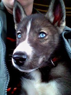 Nivek, agouti Siberian Husky, 8 weeks old. On his way home to Husky Havoc. #SiberianHusky