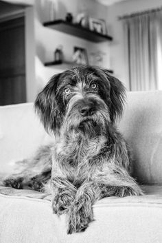 German Wirehaired Pointer ~ Classic Look