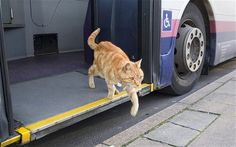 The story behind this  picture of the year: A 15 yr old pet cat named Dodger hops on and off  public transport at the bus station near his home in England.  He sits on bemused passengers' laps as the bus makes up to 10 mile round trips. Bus drivers often bring him food and know which stop to let him off at the end of his day.