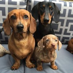 """See our site for additional info on """"Dachshund dogs"""". It is an exceptional place to read more. Weenie Dogs, Dachshund Puppies, Dachshund Love, Cute Puppies, Cute Dogs, Dogs And Puppies, Daschund, Doggies, Photo Animaliere"""