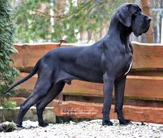 The Great Mastiff. A Great Dane-Mastiff mix. Great Dane Mastiff Mix, Great Dane Mix, Mastiff Dogs, Great Dane Puppy, Giant Dogs, Big Dogs, I Love Dogs, Cute Dogs, Dane Puppies