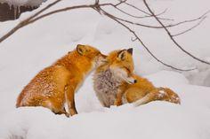 Red Foxes by Kat Suzuki on 500px