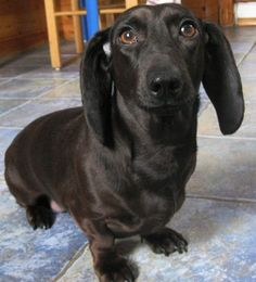 This is a rare black Dachshund. I had a black standard size Dachshund when I was young Black Dachshund, Dachshund Funny, Mini Dachshund, Dachshund Puppies, Weenie Dogs, Cute Puppies, Cute Dogs, Daschund, Doggies