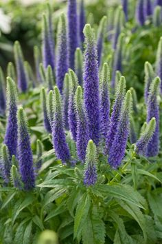 The lush leaves and flowers on these perennials thrive when planted beneath trees or in shady borders.
