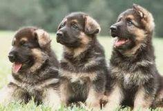 Kết quả hình ảnh cho very cute german shepherd puppies