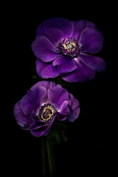 Two Purple Anemones by Ann Garrett