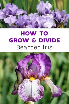 How to Grow and Divide Bearded Iris Irises need good air circulation, so be sure to plant accordingly. As they crowd, try dividing them. See this guide on caring for bearded irises. Garden Bulbs, Planting Bulbs, Garden Plants, Planting Flowers, Flower Gardening, Outdoor Plants, Potted Plants, House Plants, Growing Irises