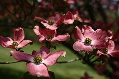 varieties of flowering trees in Virginia