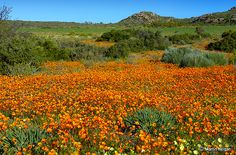 Namaqualand – South Africa's Daisy field Love Flowers, Wild Flowers, Champs, Daisy Field, Western Coast, Beautiful Places In The World, Beautiful Scenery, All Nature, Fantastic Art