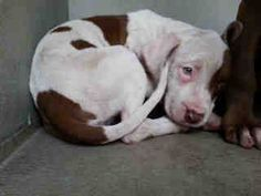 still there - WHOLE FAMILY DUMPED AT THE PARK! MOM, DAD, AND 3 TWO MONTH OLD PUPPIES! PLEDGES NEEDED! I don't have a name yet and I'm an approximately 2 month old female pit bull. I am not yet spayed. I have been at the Downey Animal Care Center since December 10, 2014.You can visit me at my temporary home at D110. https://www.facebook.com/photo.php?fbid=774686245945043&set=pb.100002110236304.-2207520000.1418335825.&type=3&theater