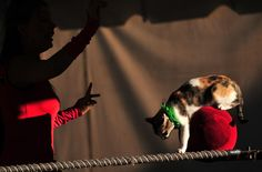 "Mayya Panfilora of ""Trained House Cats"" directs a cat as he makes his way across two parallel ropes on top of a satin ball, Sept. 3,, at the Luzerne County Fair in Dallas, Pa. (Andrew Krech/Citizens' Voice via Associated Press) Fairs around the world - The Big Picture - The Boston Globe"