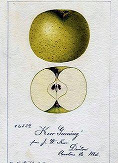 vintage apple illustration - Google Search